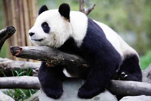 大熊猫为什么是国宝_大熊猫为什么是国宝?它是退化动物。-